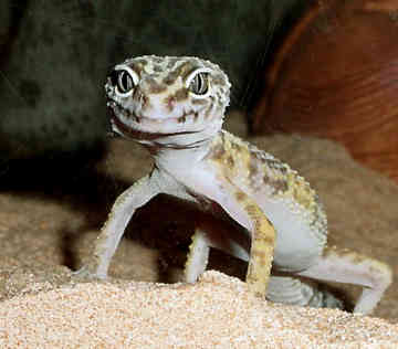 "How To Care For A ""Leopard Gecko"""