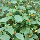 Poison Ivy Remedy With Jewelweed