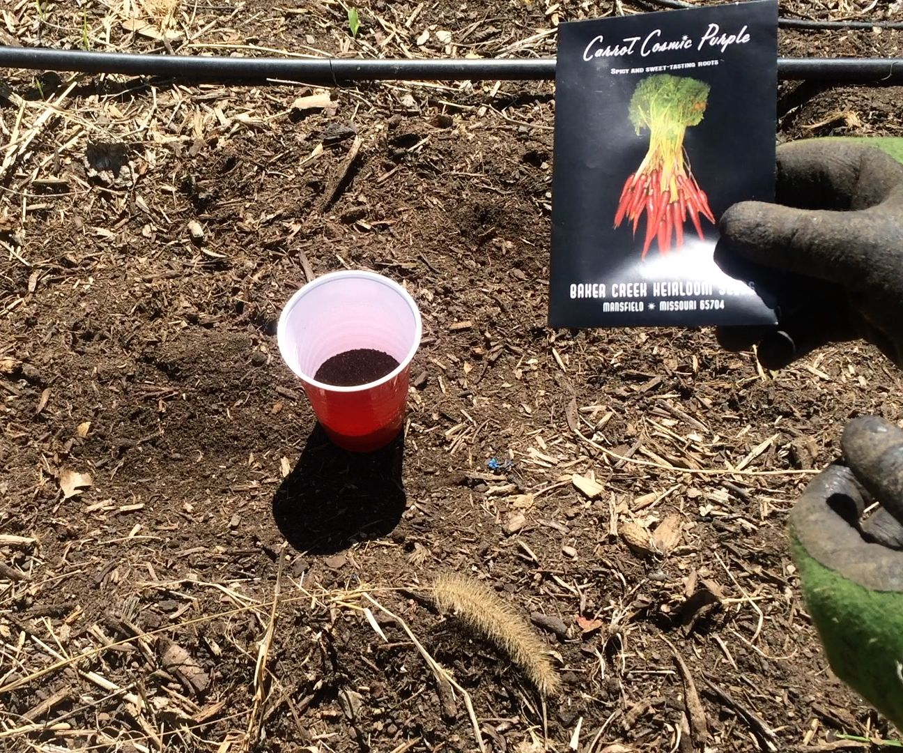 Creative Way to Plant Carrots Using Coffee Grounds