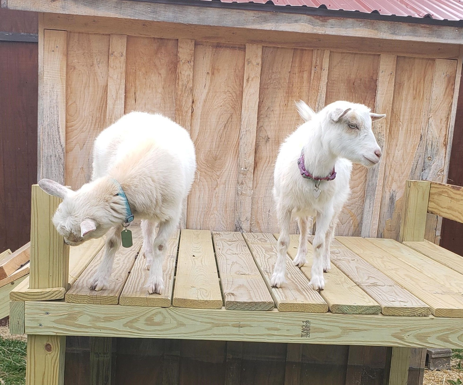 Goat Tower With Slide