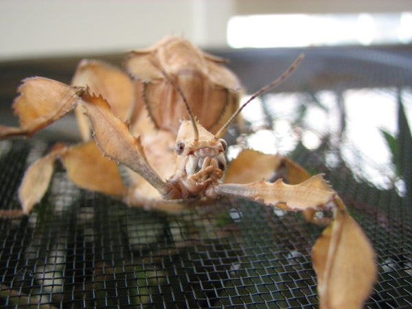 How to Keep a Pet Spiny Leaf Insect