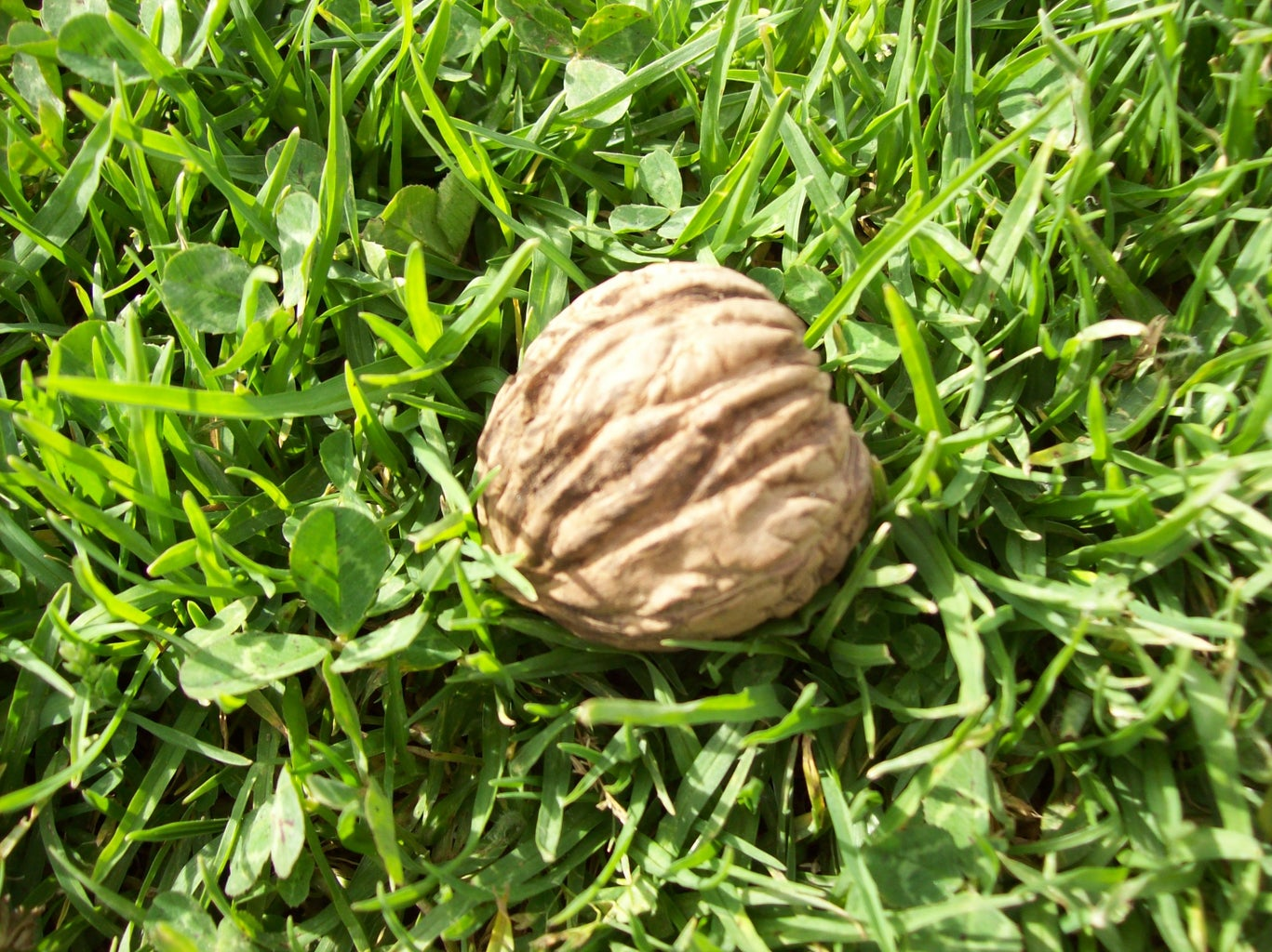 Walnut Season.Temporada De Nueces.