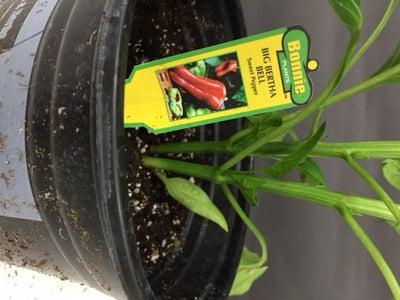 Planting Big Bertha Bell Peppers