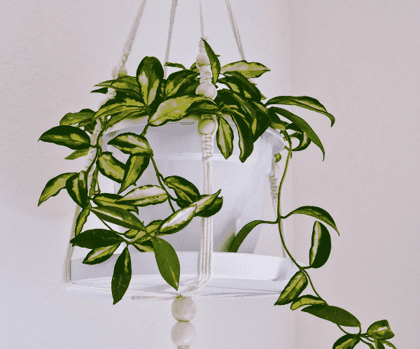 Hoya Houseplant Repotting