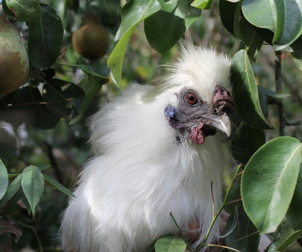 Introducing a Young Rooster Into an Established Mixed Flock or Strategies for Rehoming a Frisky Silkie