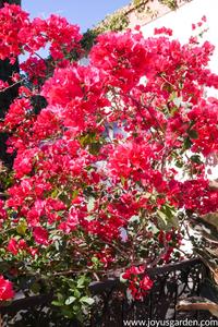 Pruning Bougainvillea in Summer (Mid-Season)