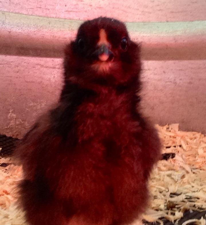 Hatching Chicks Using an Incubator