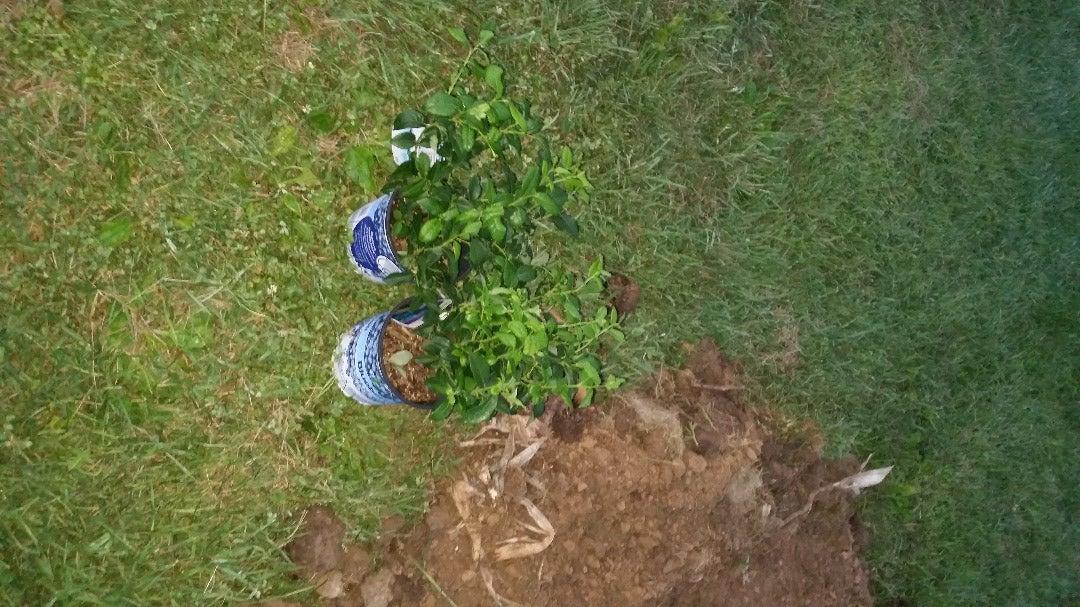 Planting a Blue Berry Bush