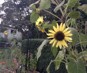 How to Harvest Ornamental Sunflower Seeds