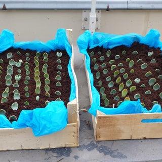 Pizza Box Turned Succulent Propagation Planter