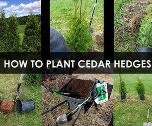 How to Plant Cedar Hedges