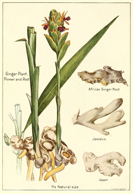 Grow Ginger As a Houseplant