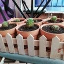 Transplanting of Cactus