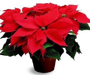 How to Grow Poinsettias and Succulents