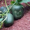 'Scarred' Pumpkins &  Jack-o-Lanterns