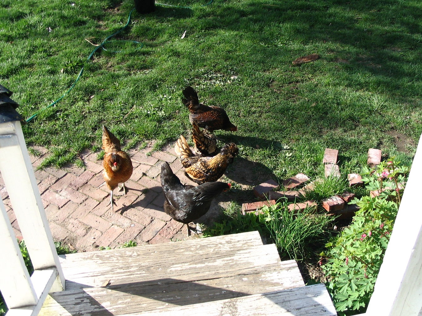 Keeping Chickens in a Harsh Northern Climate