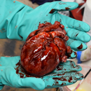 Silicone Skin 3D Printed Realistic Animatronic Heart