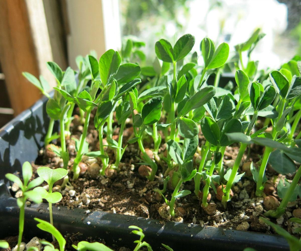 Grow Seedlings