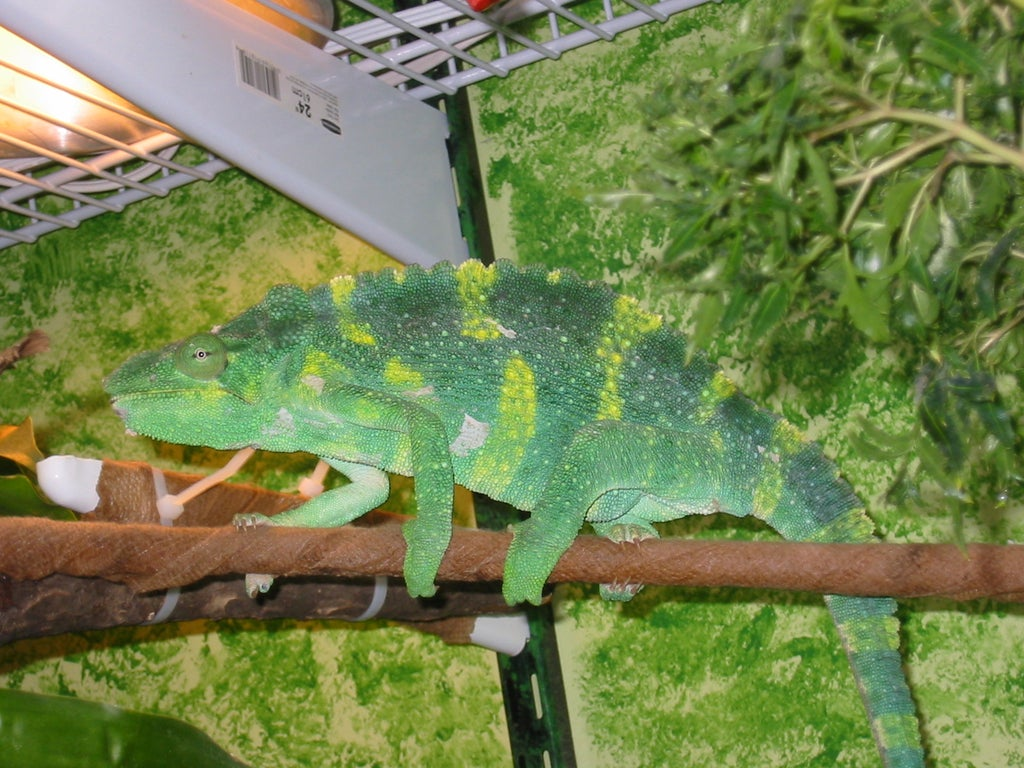 A Free Range Habitat For Meller S And Other Large Chameleons 12 Steps With Pictures Instructables