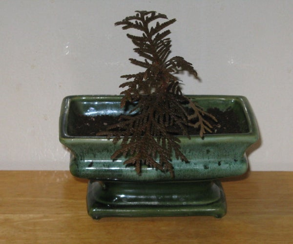 Starting a Bonsai From Seed