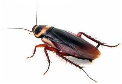 House Roaches- -No, No, I Don't Think So!