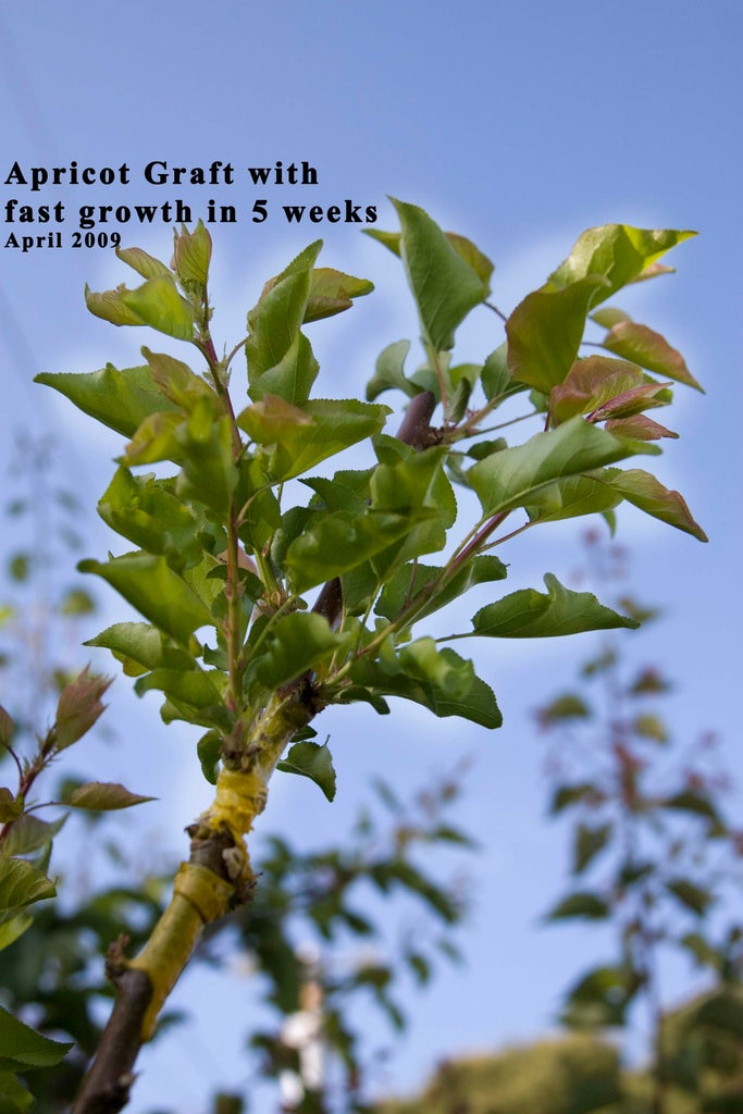 Example: Apricot Graft