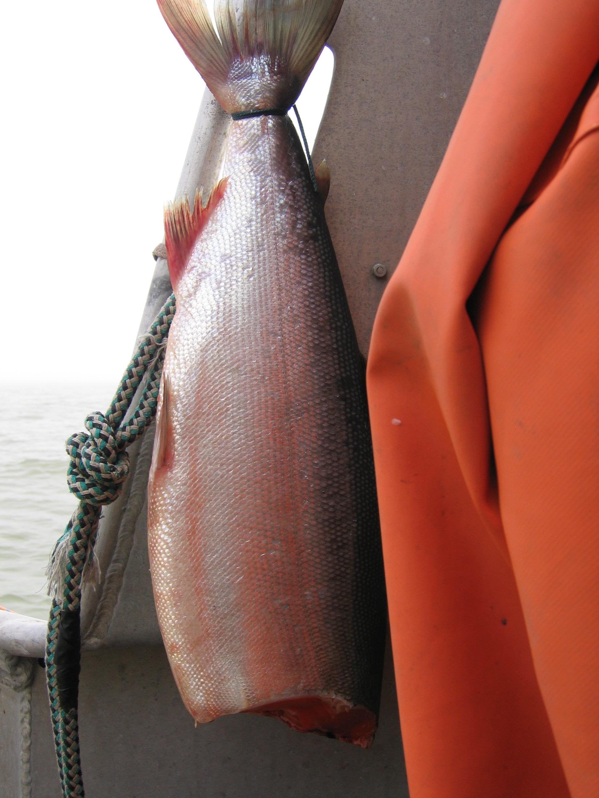 Hanging a fish