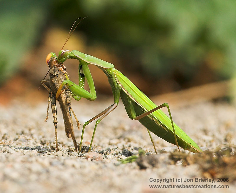 How to raise Baby Praying Mantis'