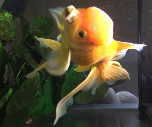 How to Remove a Rock Stuck in Your Goldfish's Mouth...