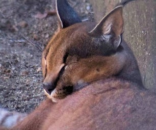 How to Draw a Caracal (laying Down)