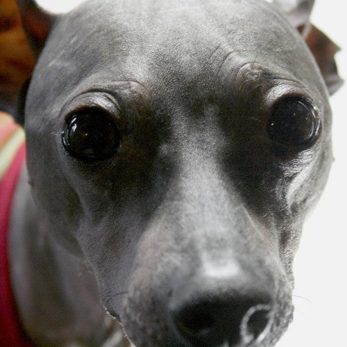 Caring for a Hairless Dog