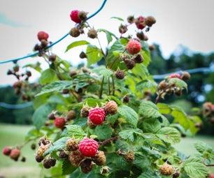 Backyard Raspberries