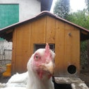 Solar CHICKEN DOOR  With Battery