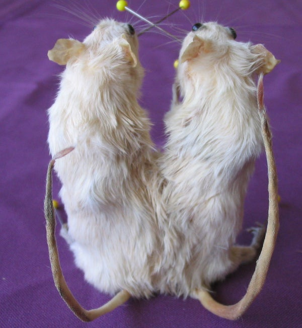 Conjoined Twin Mice