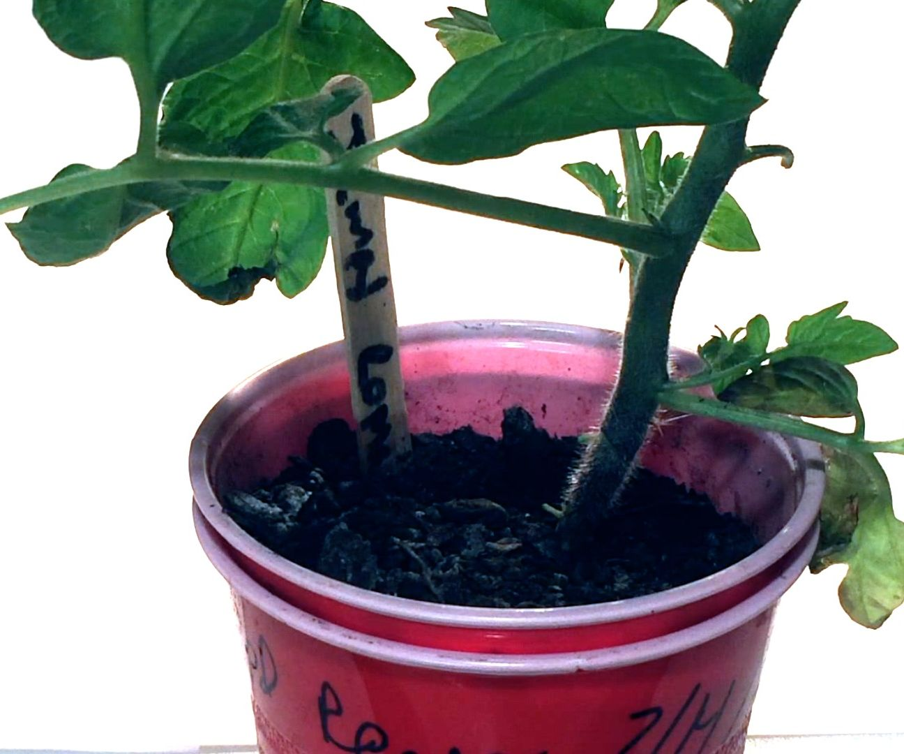 Transform Ordinary Solo Cups Into a Hybrid Hydroponic/Soil Plant Booster