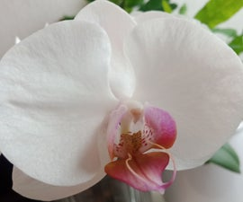 How to Propagate Any Phalaenopsis Orchid