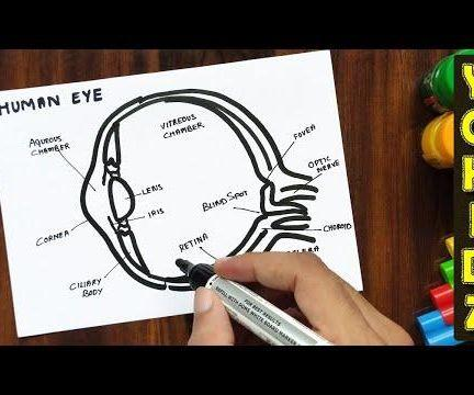 HOW TO DRAW HUMAN EYE WITH LABELLING
