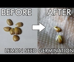 How to grow lemon plant from seed