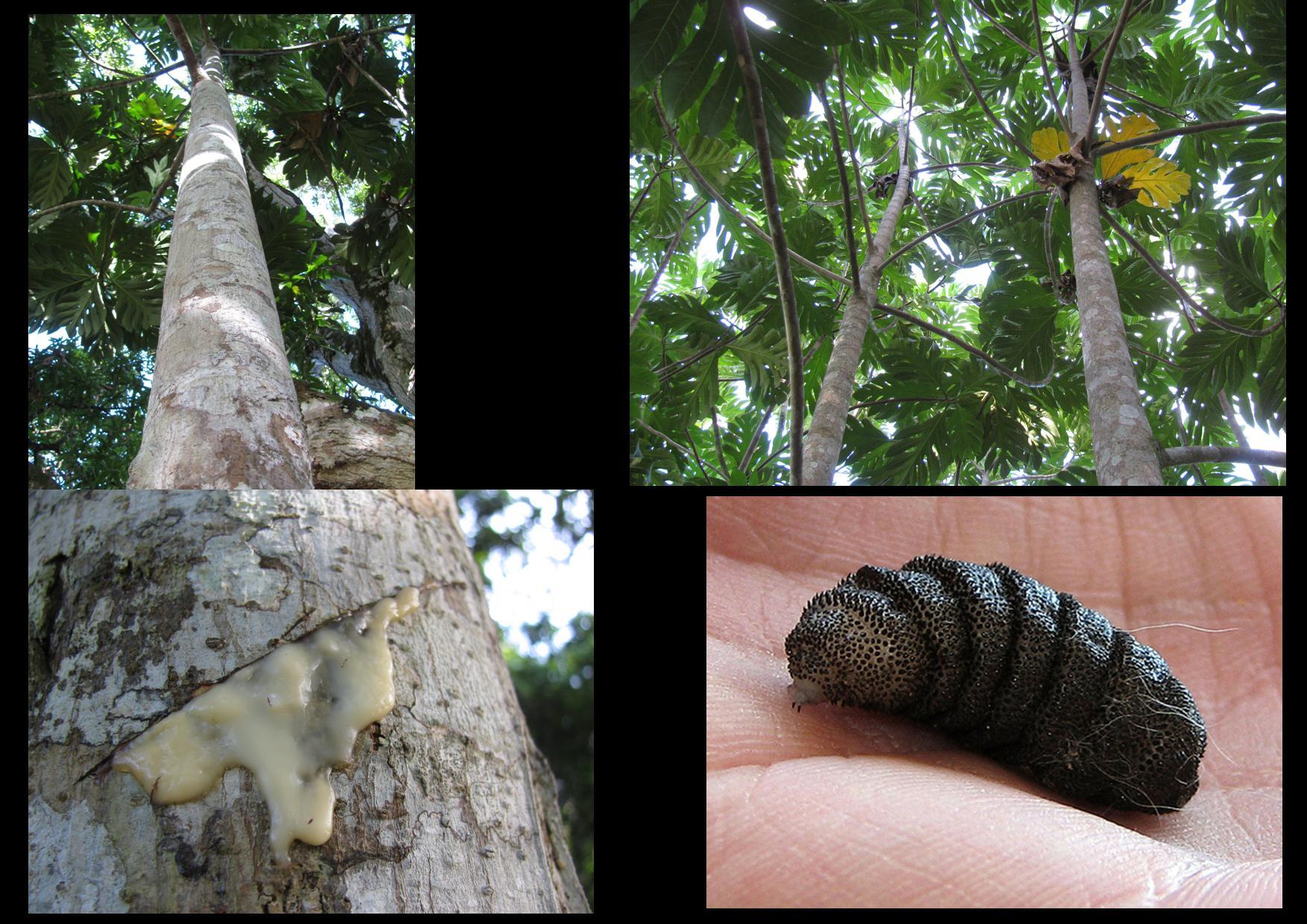 Breadfruit Sap and Bot Fly Larva