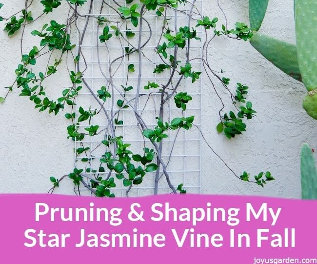 Pruning & Shaping My Star Jasmine Vine in Fall