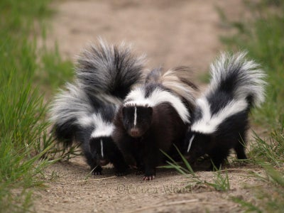 How to Evict a Skunk ... Out From Under Your House for Less Than $5