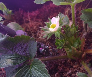 Inexpensive DIY Hydroponic Strawberry System Using Recycled Goods