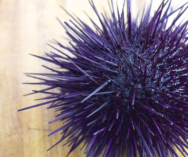 DIY Uni Sushi. Live Sea Urchin Dissection in Photos