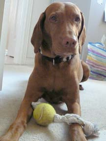 How to Make a Tennis Ball Tug Toy for Cheap