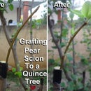 Grafting a Pear Scion to a Quince Tree