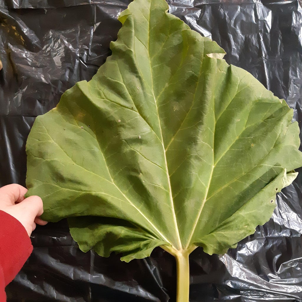 Concrete Rhubarb Leaf Garden Decor