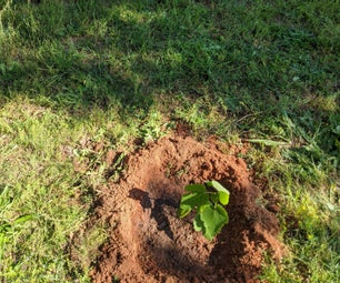 Planting Fig Tree Offshoots