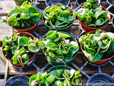 Here Are Some Quick Tips Regarding Your Hoya Plant: