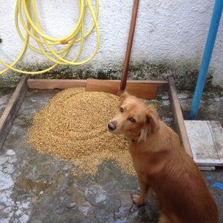 Malting Barley for Homebrewing