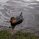 RC Sonar Rubber Duck